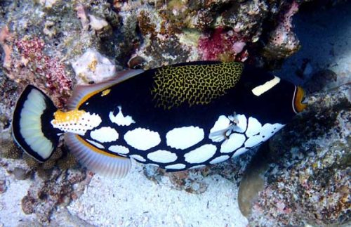 the clown triggerfish is an aggressive saltwater fish