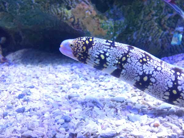 snowflake eel is another example of an aggressive saltwater fish but is it reef safe?
