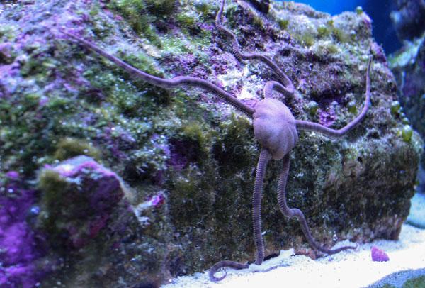 Brown serpent starfish
