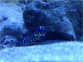 Engineer gobies need a deep sand bed to burrow in