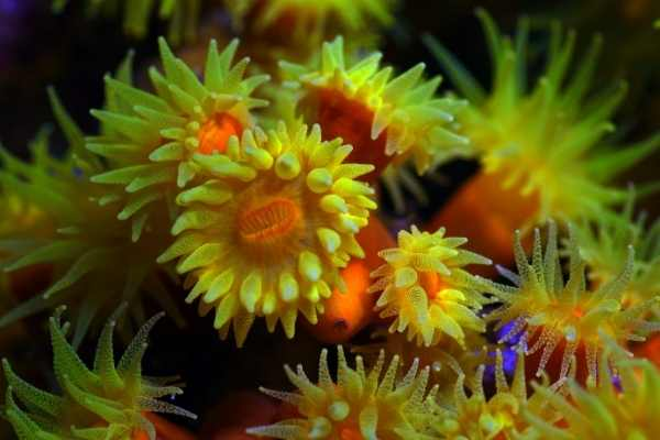 Tube coral wit3.40