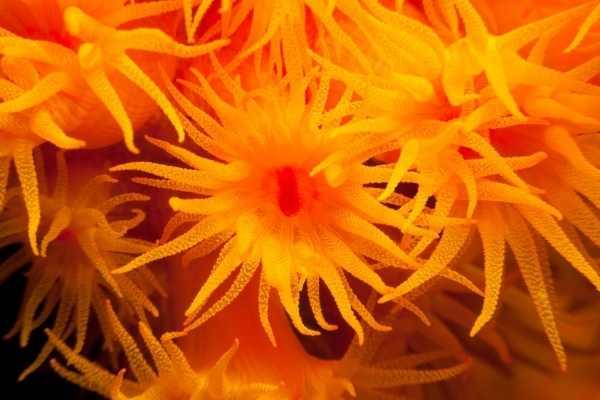 Sun coral polyp colony