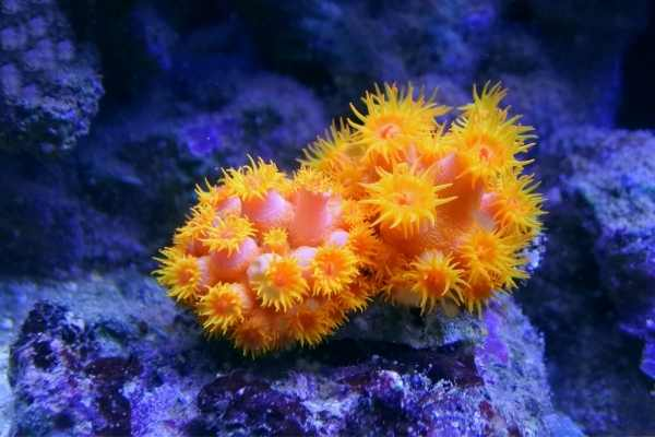 Tube coral colony with polyps extended placed on live rock