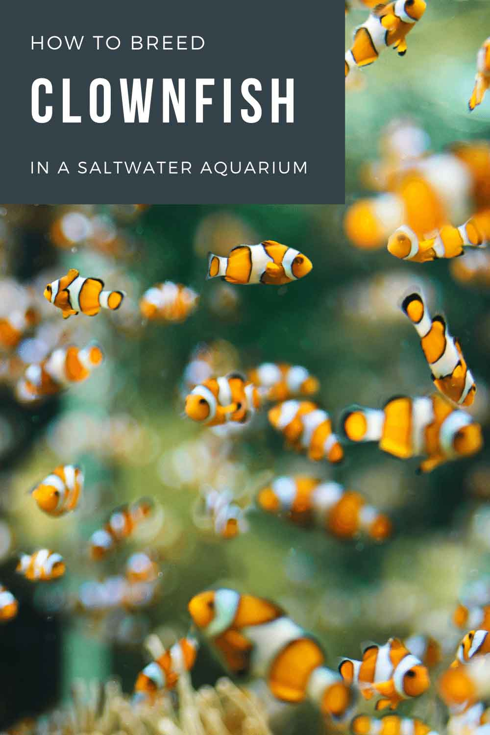How to breed clownfish and raise clownfish eggs pin