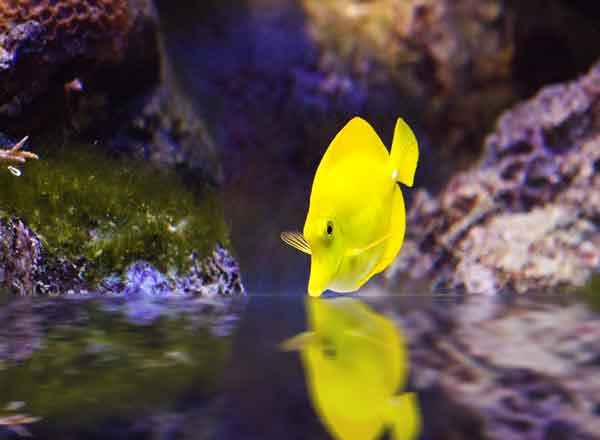 green hair algae and yellow tang in aquarium with bare bottom