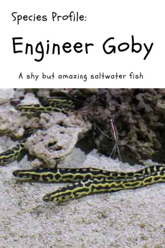Species Profile: Engineer Goby: A shy but amazing saltwater fish