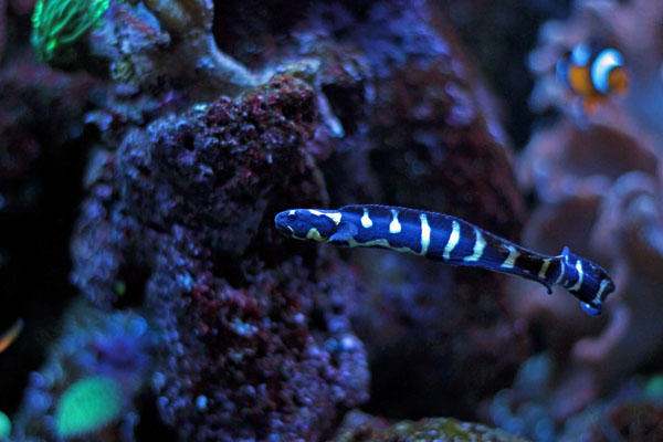 """Young engineer goby with """"convict"""" stripes"""