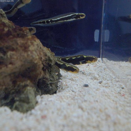 Juvenile engineer goby