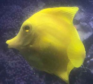 This is the yellow tang, seemingly fine ~18 hours or so before...the end...
