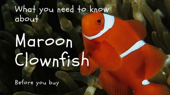 maroon clownfish article title image
