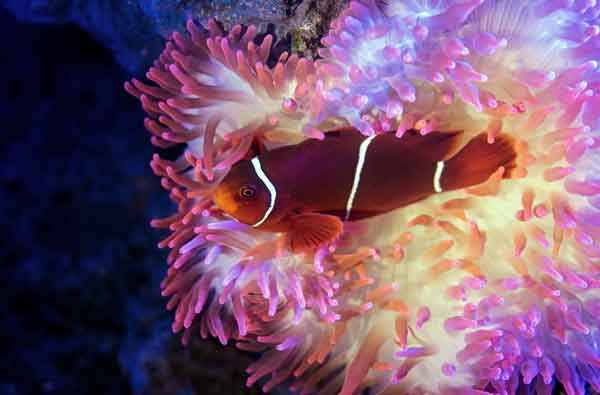 maroon clownfish nestled in an anemone