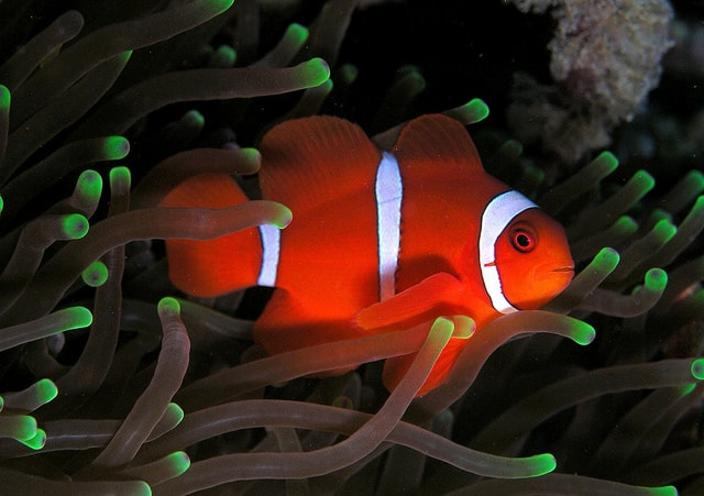 maroon clownfish by anew