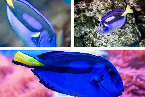 Disease and starvation in regal tang (blue hippo tang)