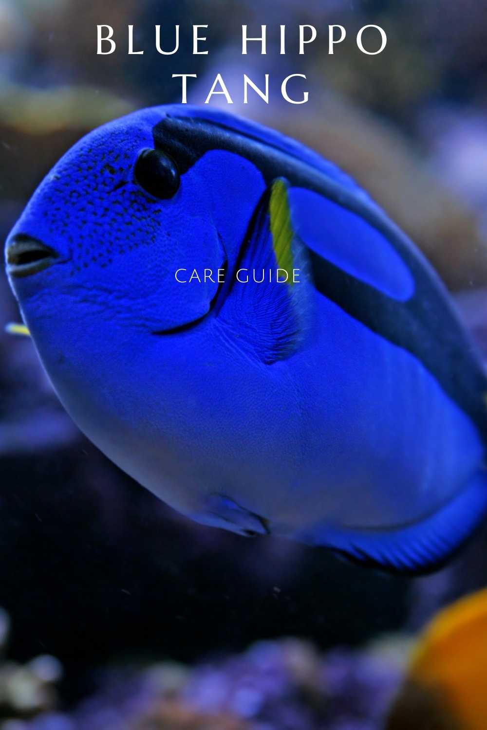 blue hippo tang care guide