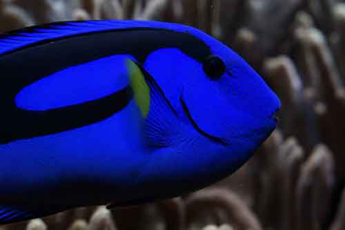 Blue hippo tangs need at least two weeks in quarantine