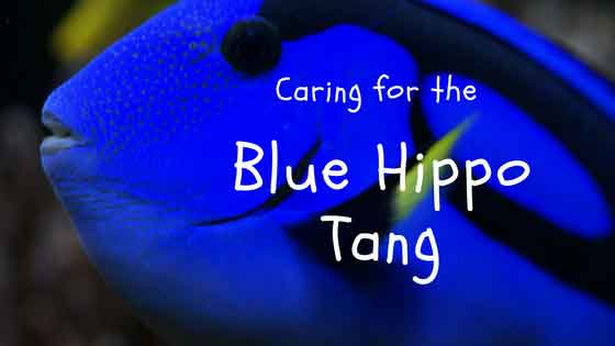 caring for the blue hippo tang