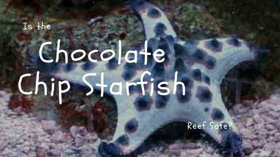 is the chocolate chip starfish reef safe?