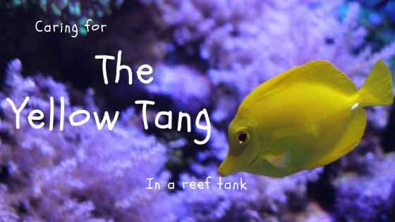 caring for the yellow tang in a reef tank