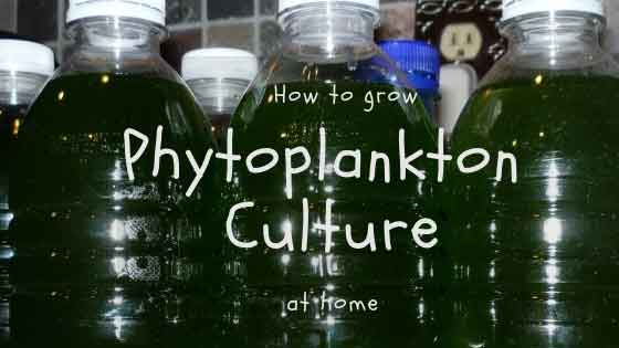 How to grow phytoplankton culture at home