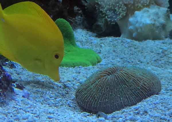 yellow tang feeding near plate coral