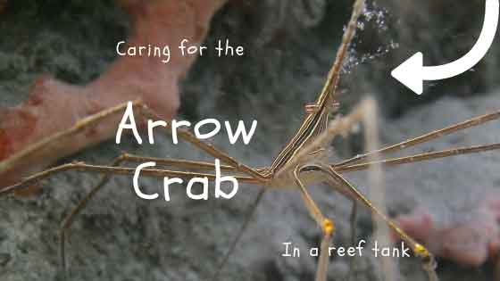 caring for the arrow crab in a reef tank