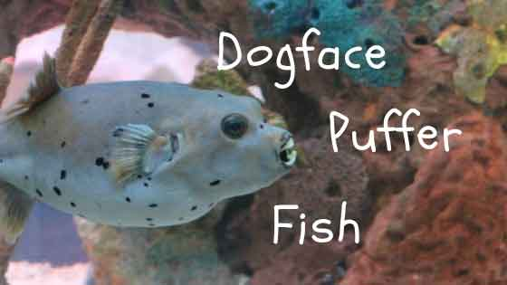 dogface puffer fish care guide article