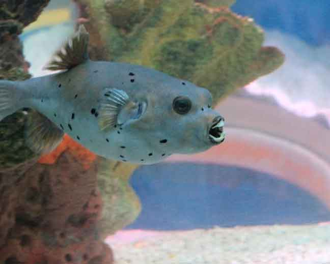 blackspotted dogface pufferfish in a reef tank