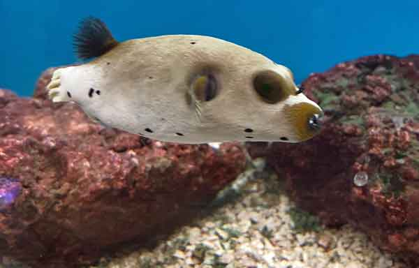 brown colored dogface puffer