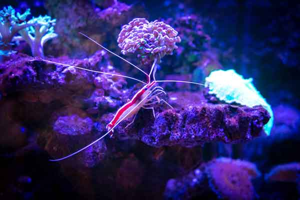 cleaner shrimp on live rock