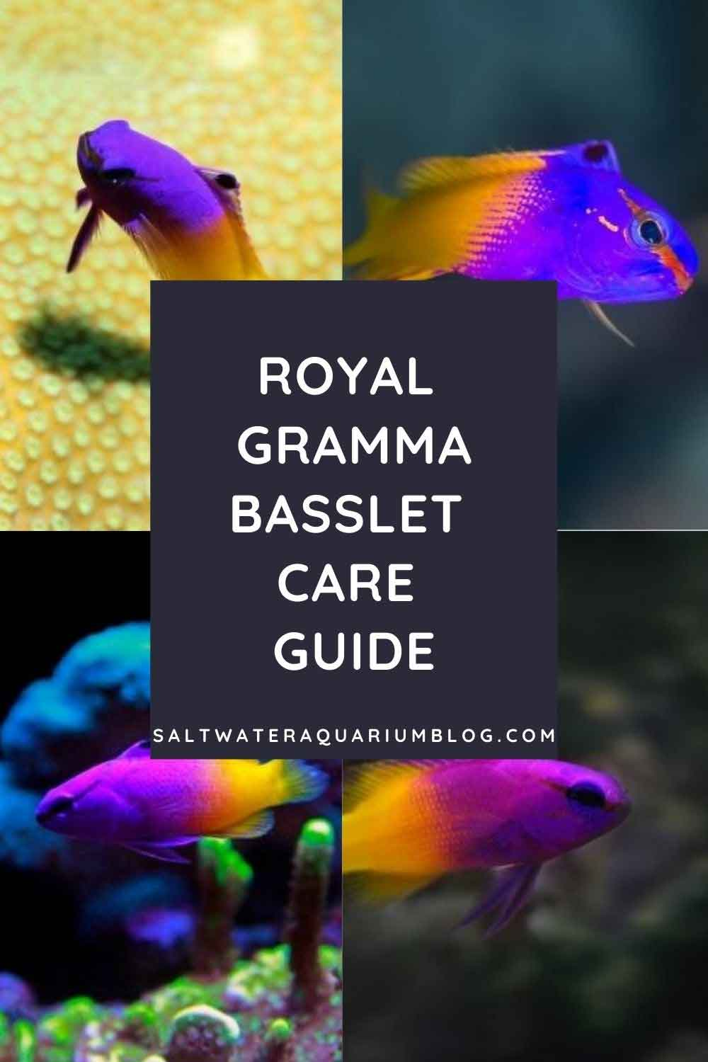 Royal gramma fish care guide profile picture