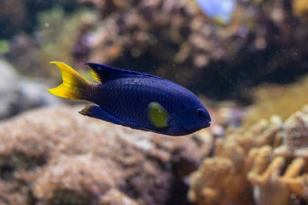 male blue devil damselfish with orange/yellow caudal fin