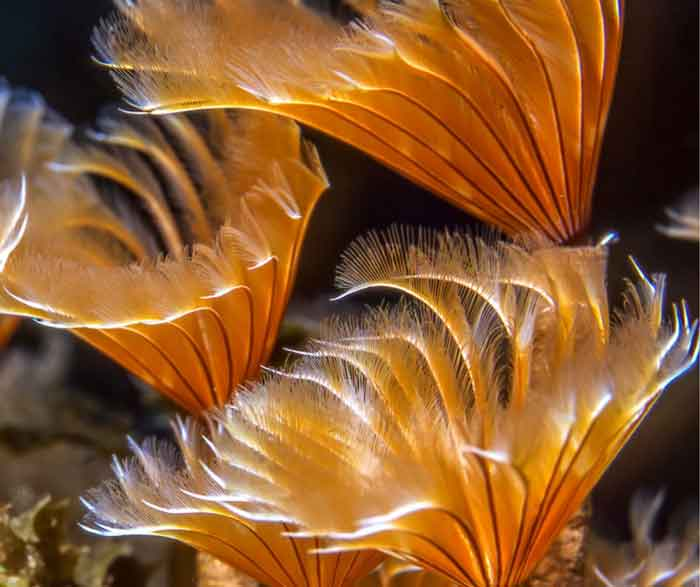 close up of the crown of a feather duster worm