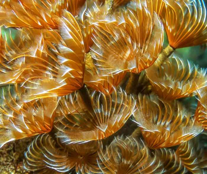 Brown feather duster tube worm colony