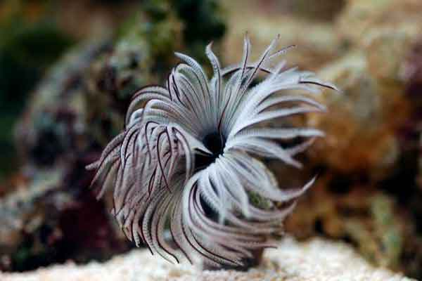 Fancy species of segmented worm called a feather duster or fan worm