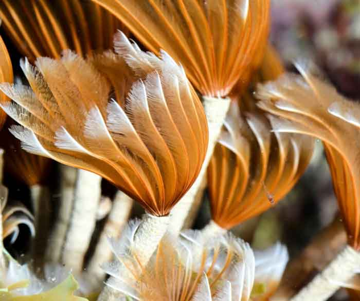 Featherduster worm with tube