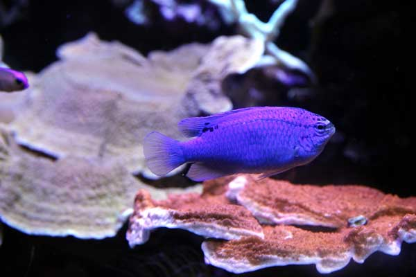 blue devil damselfish female and montipora corals