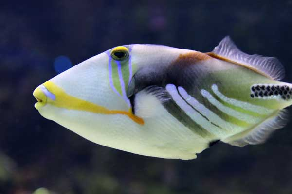 Rhinecanthus aculeatus also known as the picasso triggerfish or humu humu