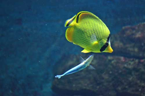 Bluestreak cleaner wrasse and butterflyfish