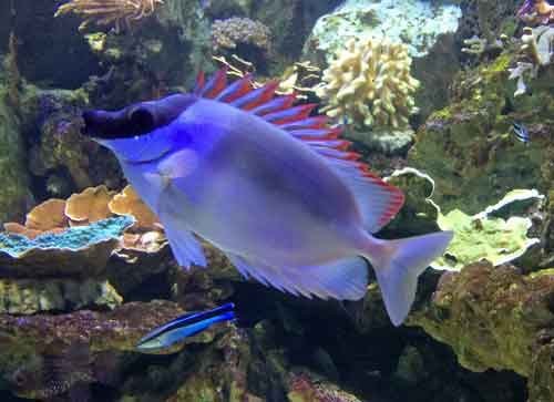 rabbitfish and cleaner wrasse in reef tank with rocks
