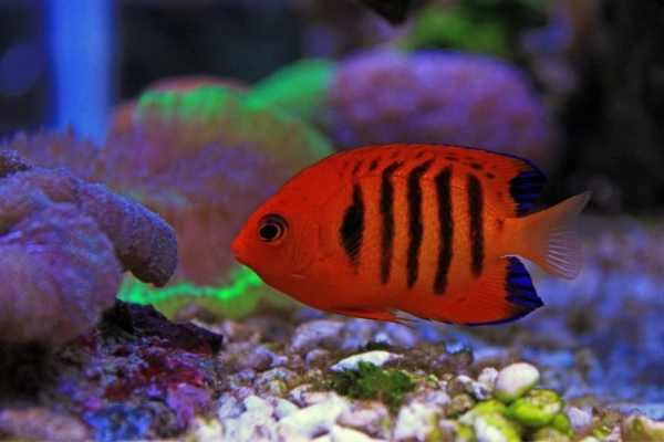 Flame angelfish swimming left near aquarium gravel with corals in background