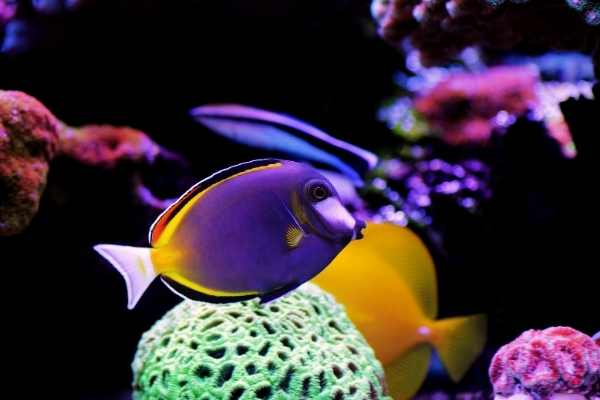 Powder brown tang in mixed reef tank aquarium with favia coral in background