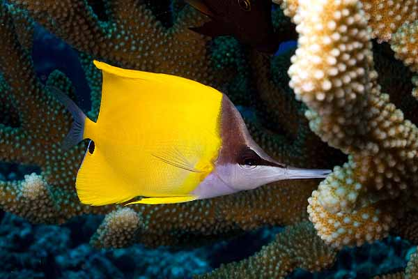 Longnose butterfly fish near SPS corals