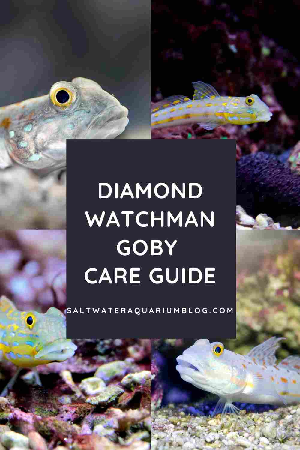 Diamond watchman goby care guide