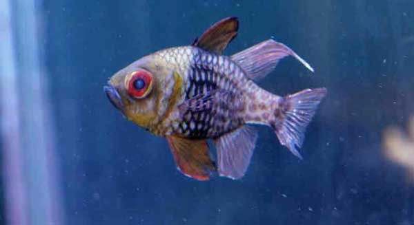 sick saltwater fish with cloudy eyes, nipped fins