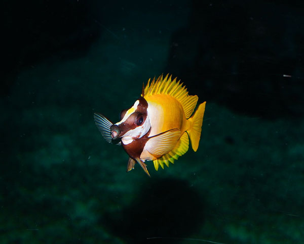 Spines on a Foxface rabbitfish are venomous