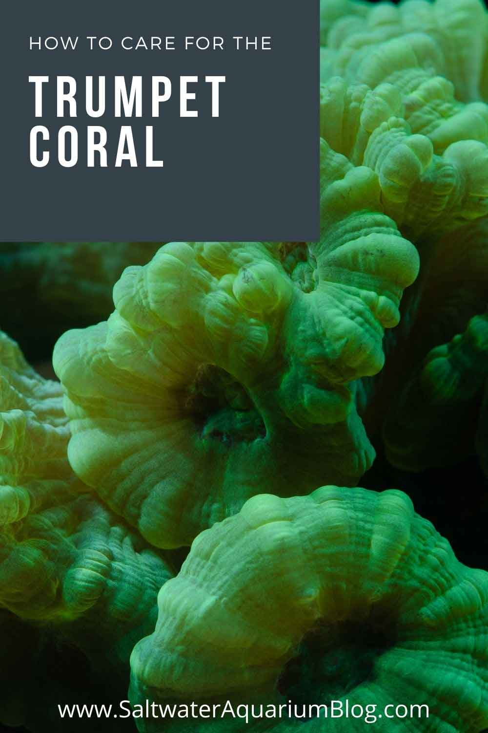 trumpet coral care guide