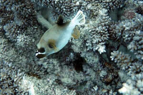 Dogface puffer fish nibble on corals to trim their teeth