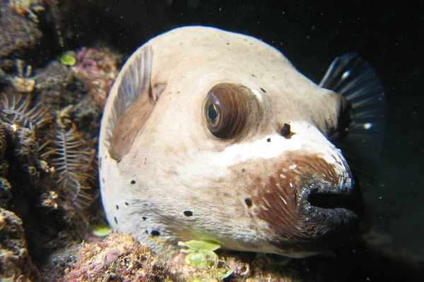 Dogface puffer fish remind people of puppy faces