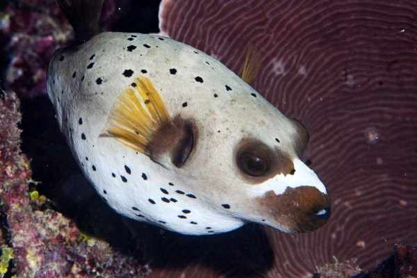 Dogfish puffer fish also develop black spots