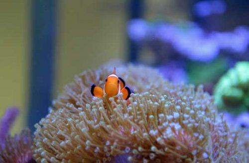 clownfish coral on saltwater aquarium blog homepage